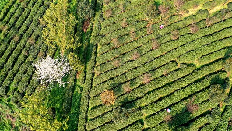 貴州清鎮:茶園春景美 比拼採茶技能促發展
