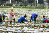 貴州榕江:壩區農民農事忙