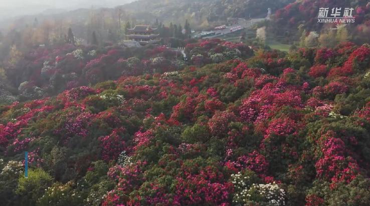 微視頻丨百裏杜鵑 花開成海