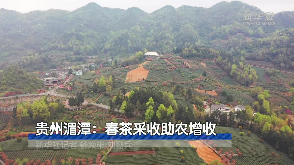 貴州湄潭:春茶採收助農增收