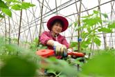 貴州江口:大棚果蔬春管忙
