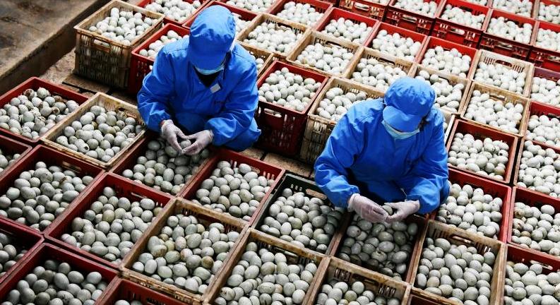 貴州三穗鴨:富民産業助增收