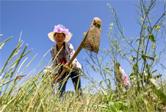 貴州黔西:白茶種植促增收