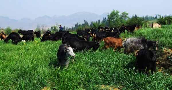普安草地畜牧業